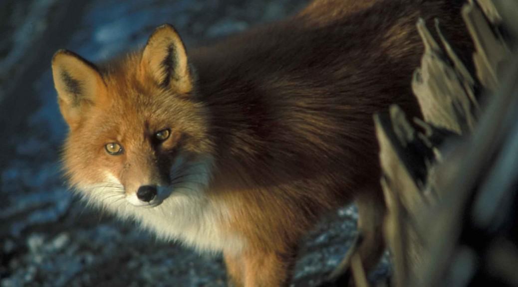 Red Fox wikimedia.org