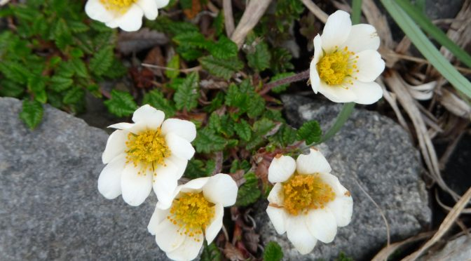 Common Plants of Nunavut  <br /><small>by Caroline Goodwin</small>