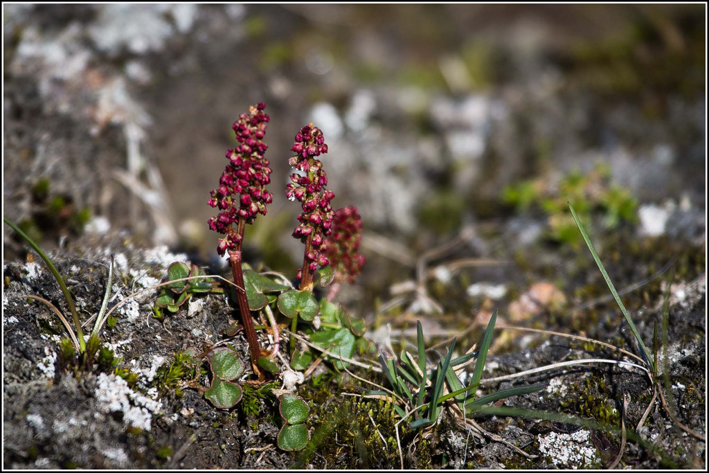 Mountain Sorrel (Oxyria digyna)