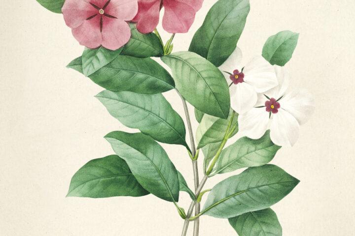 Impatiens Antique plant drawn by Pierre-Joseph Redouté(1759-1840 )