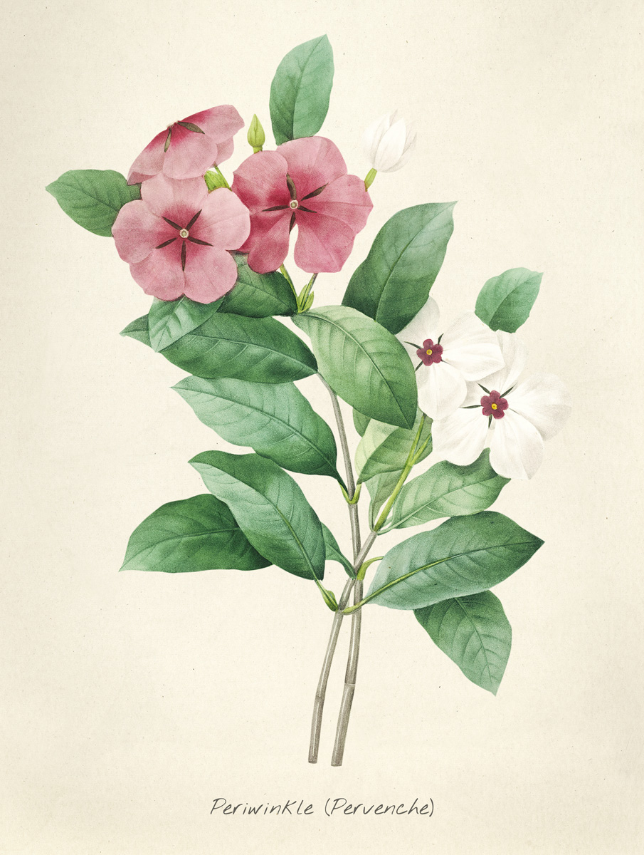 Impatiens Antique plant drawn by Pierre-Joseph Redouté(1759-1840 )