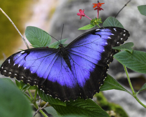 Blue Morpho Butterfly | Charles Patrick Ewing