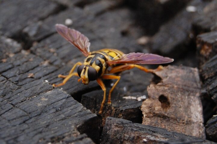 Yellow jacket wasp on a log | Clarence Risher